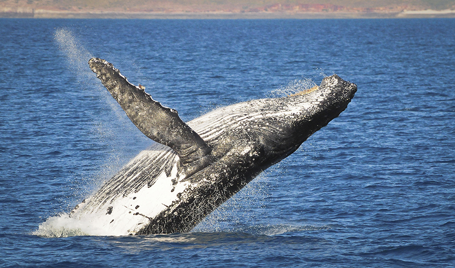 A humpback whale jumping out of the water.
