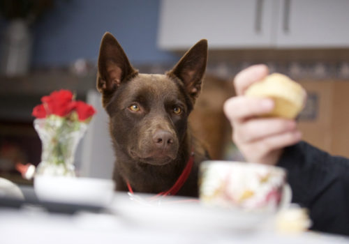 Hero the dog as Koko looking intently at a scone in KOKO: A RED DOG STORY.
