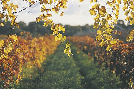 Vineyard with sunlight filtering through the autumn leaves